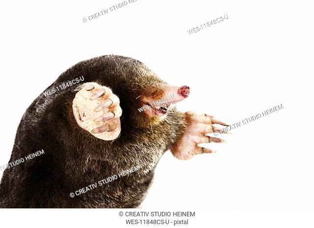 European Mole, Talpa europaea, close-up