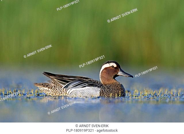 Garganey (Spatula querquedula) male swimming in lake in spring