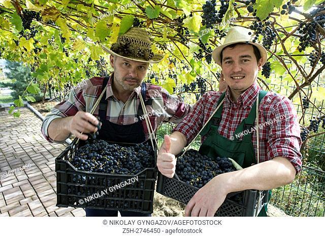 Russia. Belgorod region. The grapes in the garden