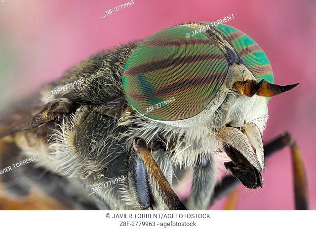 A Hybomitra affinis, horse fly. Horse flies are often large and agile in flight, and the females bite animals, including humans, to obtain blood