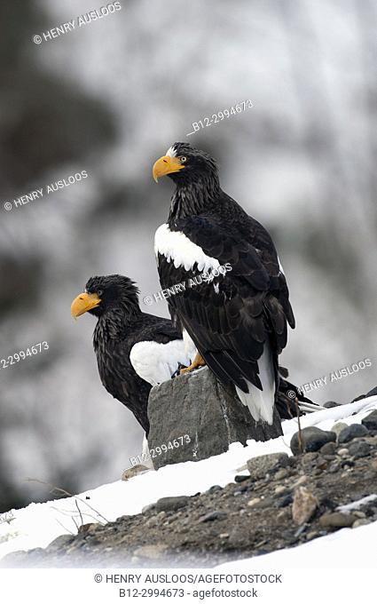 Steller's sea eagle (Haliaeetus pelagicus) couple, Japan