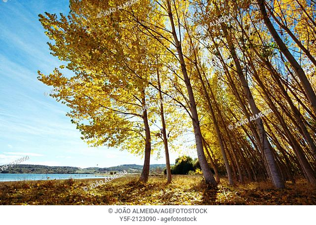 Yellow falling leaves of poplar trees