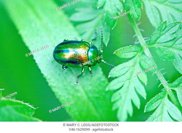 Chrysolina fastuosa, a tiny rainbow-colored leaf beetle  A pin-head sized beetle searches for dinner on a leaf  Very colorful metallic beetle with blue stripes...