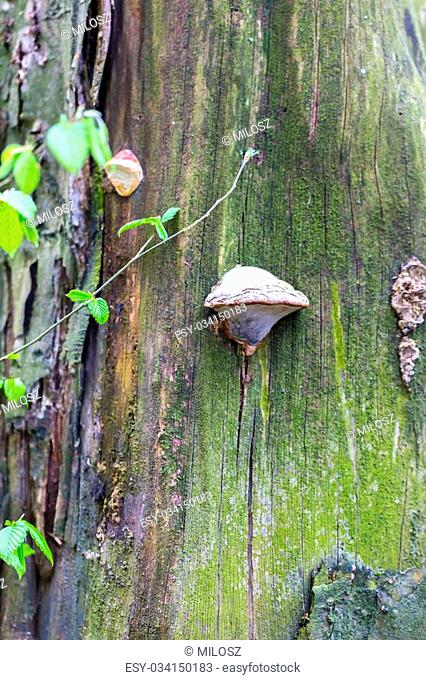 Close up of tree trunk with growing hub. Parasect mushroom on tree