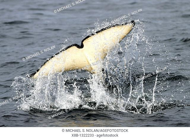 A celebratory tail slap after a group of five transient Orca Orcinus orca that chased, killed, and then ate a single Dall's porpoise Phocoenoides dalli in Icy...