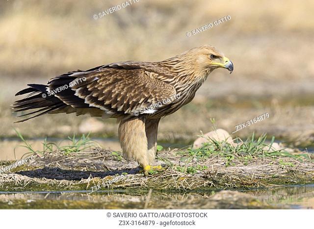Eastern Imperial Eagle, Juvenile juvenile standing near a pool, Salalah, Dhofar, Oman (Aquila heliaca)