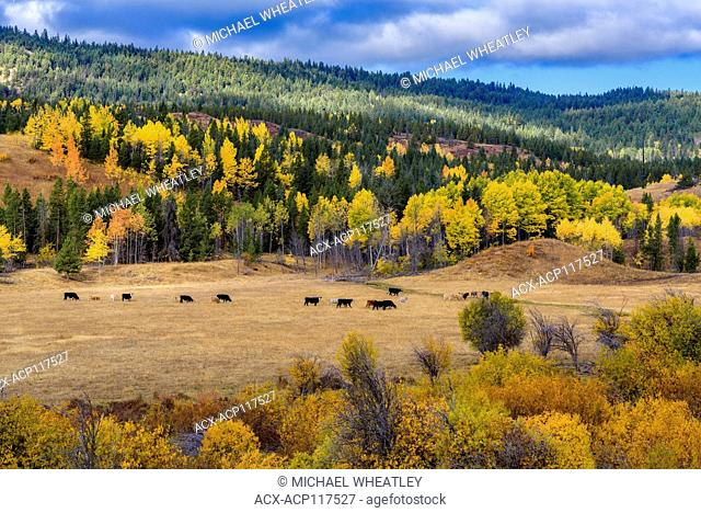 Cattle and fall colour near Aspen Grove, British Columbia, Canada