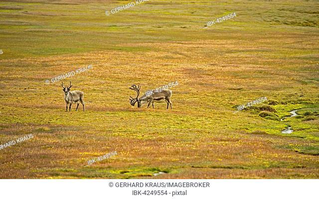 Two Svalbard reindeer (Rangifer tarandus platyrhynchus) on tundra, Spitsbergen, Arctic, Norway