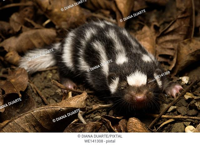 """""""""""Skunk"""" (Mephitidae), Spotted skunks are particularly efficient hunters because they are quick and are able to follow rodents into smaller spaces than can..."