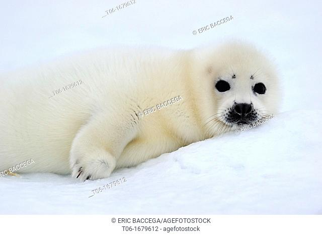 Harp seal pup white coat 4 to 14 days old on ice Phoca groenlandicus Magdalen Islands, Quebec, Canada