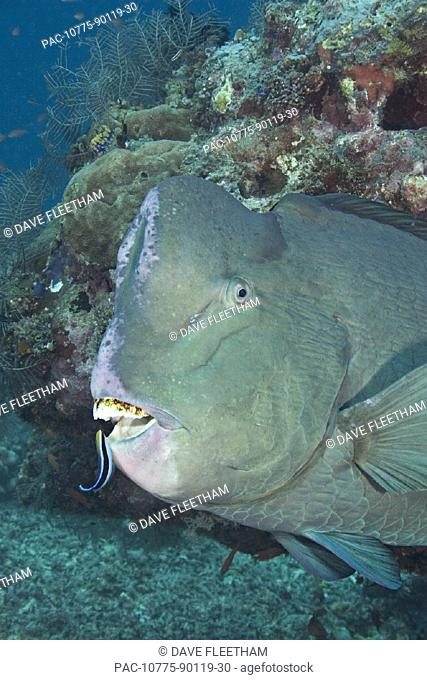 Malaysia, Sipidan Island, A cleaner wrasse (Labroides dimidiatus) inspecting the mouth of a bumphead parrotfish (Bolbornetopon muricatum)