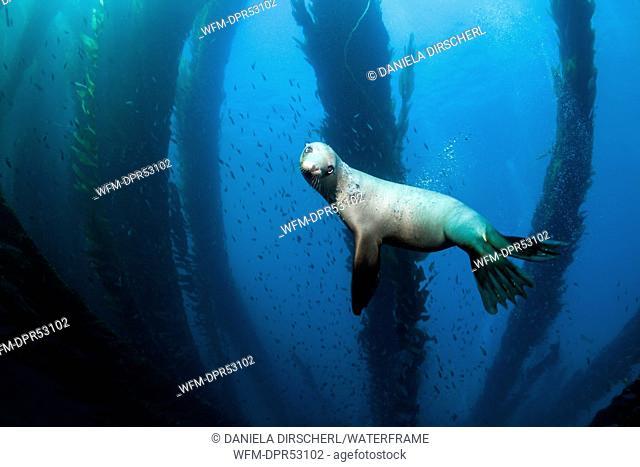 California Sea Lion in Kelp Forest, Zalophus californianus, San Benito Island, Mexico