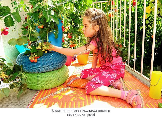 Girl picking strawberries on the balcony