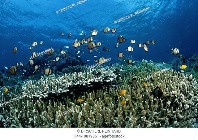 Schooling, Reticulated dascyllus, Dascyllus reticulatus, Indonesia, Wakatobi Dive, Resort, Sulawesi, Indian Ocean, Ban