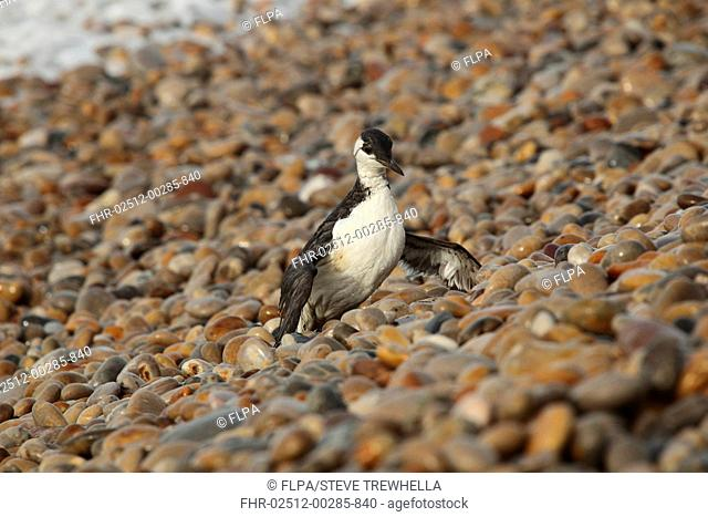 Common Guillemot (Uria aalge) adult, winter plumage, washed ashore after contamination from polyisobutene oil additive at sea