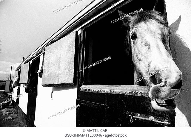 Horses Sticking Heads out of Stable Windows