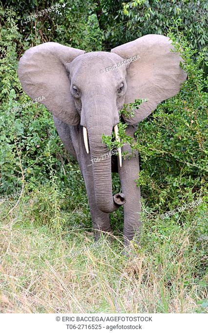 African elephant juvenile charging (Loxodonta africana) Queen Elizabeth National Park, Uganda, Africa