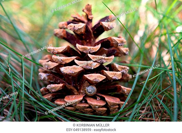 Pine cones with small snail shell on it