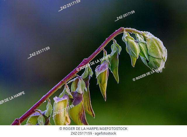 Bird Flower or Rattlepod (Crotalaria laburnifolia). Bale Mountains National Park. Ethiopia