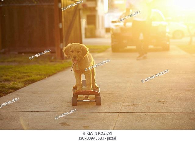 Labrador puppy on skateboard