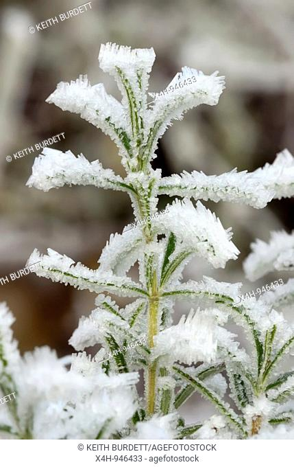Rosmarinus officinalis, Rosemary, in frost, Wales