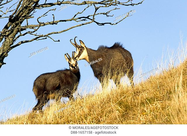 Chamois (Rupicapra rupicapra), couple during mating period, Le Hohneck, Haut-Rhin, France