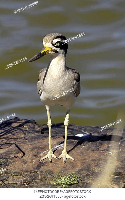 Great stone-curlew or great thick-knee, Burhinus recurvirostris Ranthambhore Tiger Reserve, Rajasthan, India