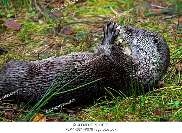 Close up of European River Otter (Lutra lutra) on the shore lying on its back while eating fish with its paws