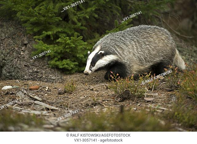 European Badger ( Meles meles ) in natural surrounding of an autumnal forest searching for food