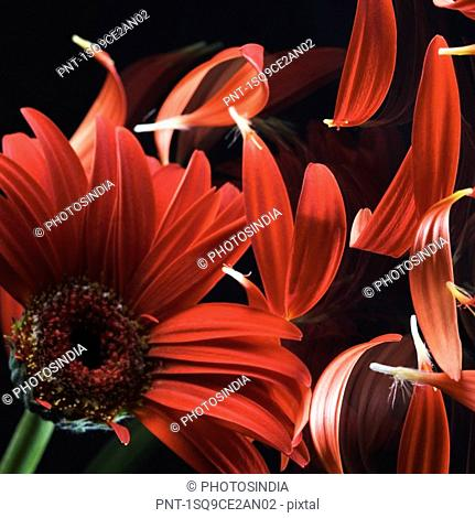 Close-up of a red daisy with petals