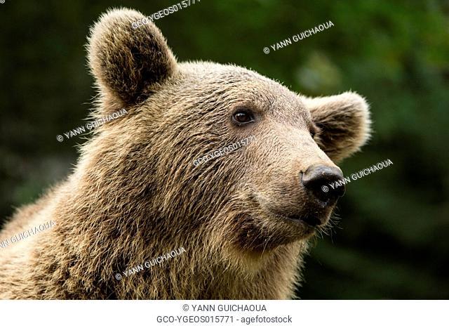 Brown Bear,Ursus Arctos,Pyrenees Animal Park, Argelès-Gazost, Hautes Pyrenees, Midi Pyrenees, France
