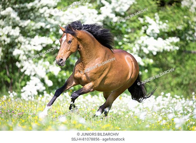 Arabian-Barb. Bay gelding galloping on a pasture in spring. Switzerland