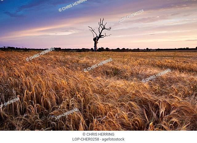 England, Norfolk, Thurne, A dead tree sitting in a Barley field in the Norfolk countryside