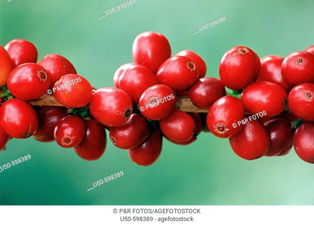 Coffea arabica, ripe coffee fruits on branch, Rubiaceae, Guarapari. Espirito Santo. Brazil