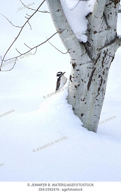 Female Downy Woodpecker on a Quaking Aspen tree in the winter in Washington State, USA. Picoides pubescens