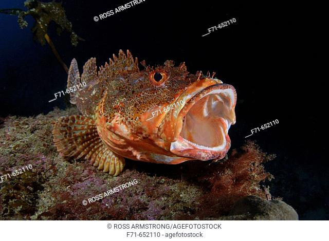 Yawning northern scorpionfish (Scorpaena cardinalis). Maroro Bay. Poor Knights Islands, New Zealand. South Pacific Ocean