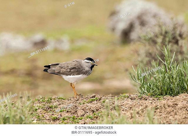 Spot-breasted Lapwing (Vanellus melanocephalus), Bale Mountains National Park, Bale Zone, Oromia Region, Ethiopia