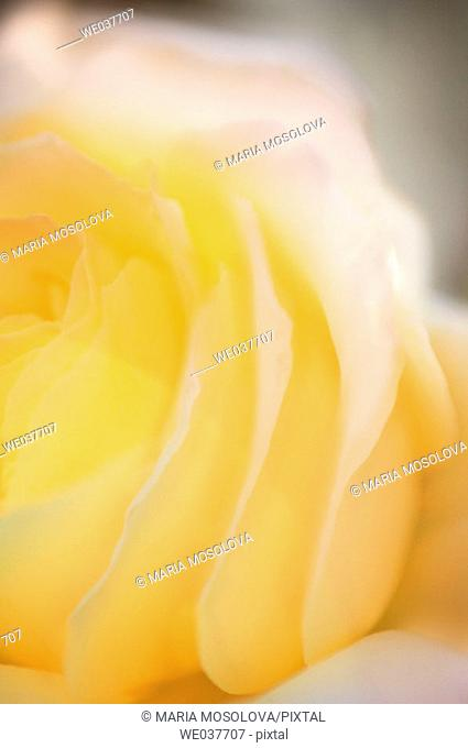 Yellow Rose Close-up. Rosa hybrid. Maryland, USA