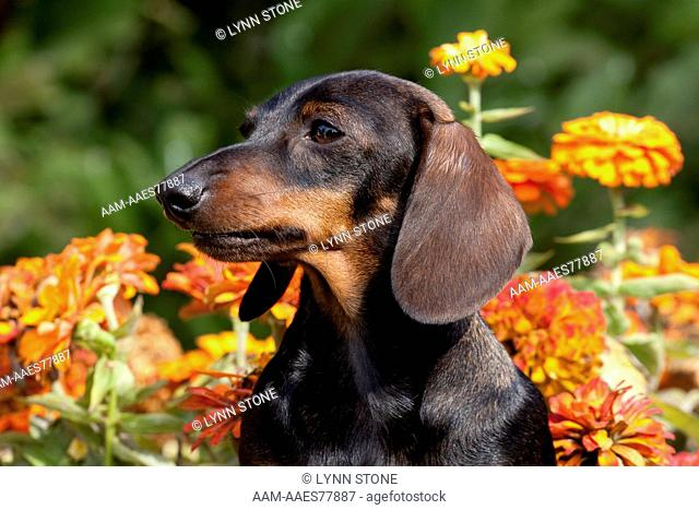 Portrait of black mini Dachshund by zinnias; Gurnee, Illinois, USA (PD)