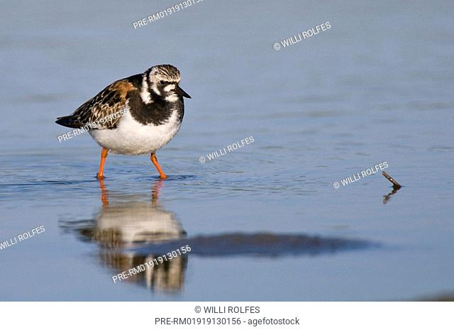 Ruddy turnstone, Arenaria interpres, Texel Island, The Netherlands, Europe