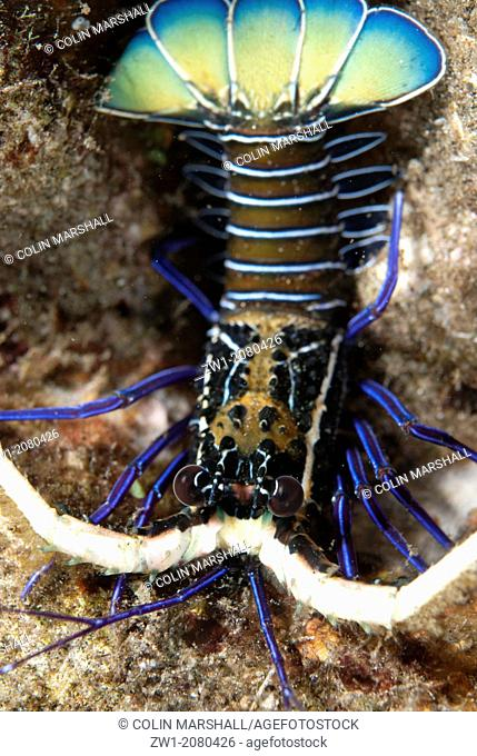 Juvenile Painted Spiny Lobster (Panulirus versicolor) on sand near Alor in Indonesia