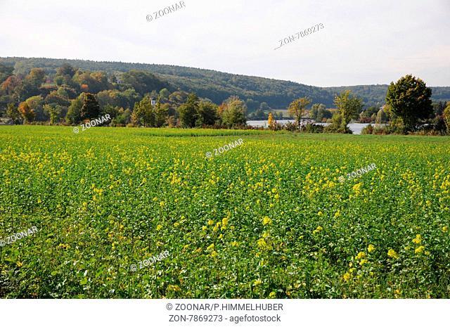 Sinapis alba, Gelbsenf, Yellow mustard, Gründngung