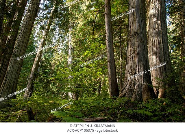 Inland Rain Forest, Western Red Cedar (Thuja plicata), The Ancient Forest Trail outside Prince George, BC, Canada