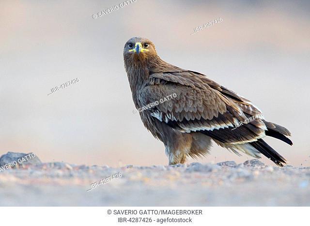 Steppe Eagle (Aquila nipalensis), juvenile, on the ground, Salalah, Dhofar, Oman