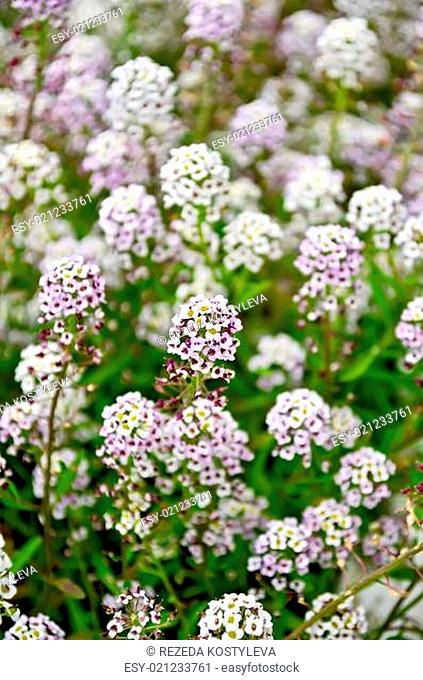 Alyssum white and lilac flower on a lawn on a background of green leaves