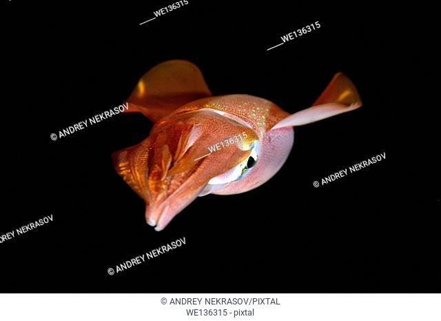 Bigfin reef squid (Sepioteuthis lessoniana) Red Sea, Egypt, Africa