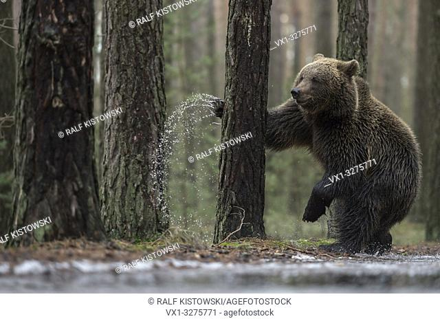 European Brown Bear ( Ursus arctos ), young, standing on hind legs next to a frozen puddle, boxing, fighting with a tree, looks funny, Europe