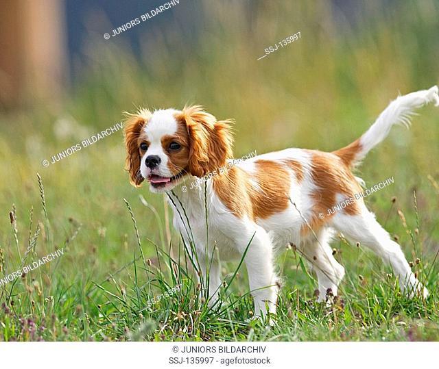 Cavalier King Charles Spaniel puppy - standing on meadow restrictions: Tierratgeber-Bücher / animal guidebooks