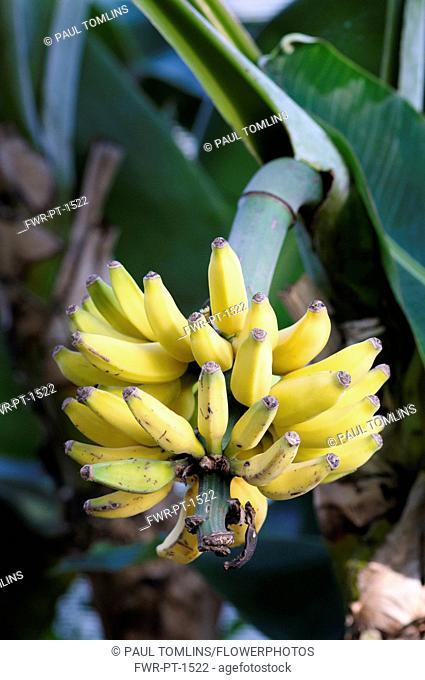 Banana, Musa acuminata 'dwarf cavendish', Yellow bananas growing on the tree