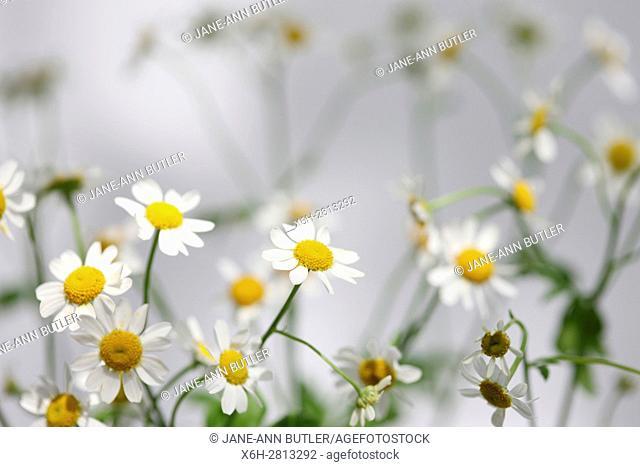 tanacetum parthenium - feverfew, single vegmo variety, Summer daisy-like flowers, medicinal herb